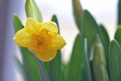 daffodil (Wolfgang Binder) Tags: flower macro spring nikon blossom balcony daffodil d90