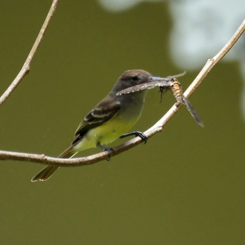 Brown-crested Flycatcher feasting on a moth