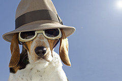 Looking down with flare (Paguma / Darren) Tags: dog sun hat goggles hound flare floyd doggles