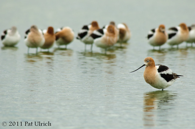 Flock of American avocets - Pat Ulrich Wildlife Photography
