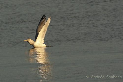 Ring-billed Gull Take-off-2.jpg