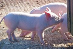 piglets .. ( Angel of light ) Tags: uk pink nature sunshine pig spring play farm farming meat british feed threelittlepigs livestock piglets nudge younganimals britishness angeloflight2009 welcomeuk