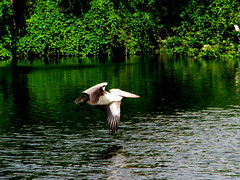Flight of Pelicans (Jay fotografia) Tags: life india green tourism nature birds pelican greenery tamilnadu migratorybirds kancheepuram vedanthangalbirdsanctuary jayasankarmadhavadas