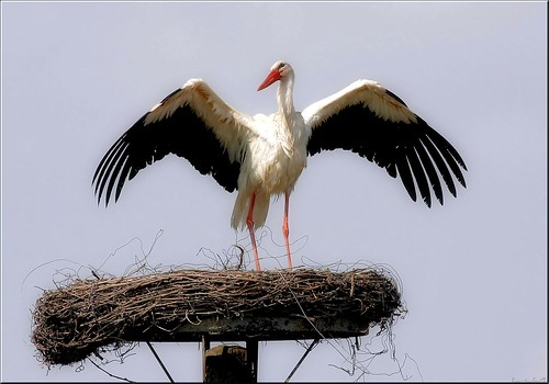 the first stork arrived today ...spring