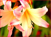 WHERE HAVE ALL THE FLOWERS GONE... (mutter2009 *OFF*) Tags: flowers lily searchthebest abigfave sognidreams