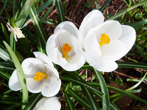 Spring flowers at Greenbank Garden