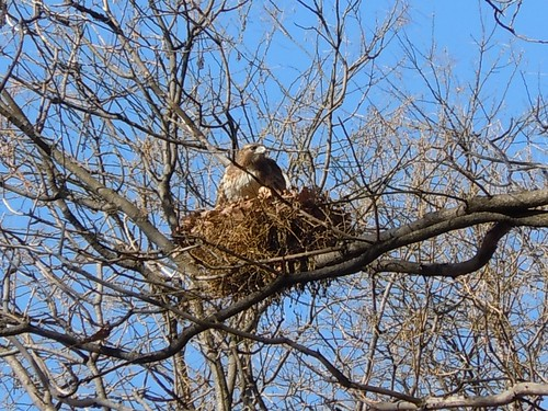 tompkins hawk on her half-built nest