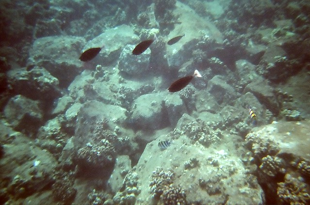 Paletail Unicornfish, Convict Tangs