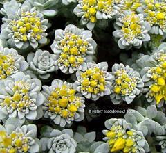"Sedum spathulifolium 'Cape Blanco"" (Kelley Macdonald) Tags: sedum sedumspathulifolium pacificstonecrop broadleafstonecrop sedumspathulifoliumcapeblanco"