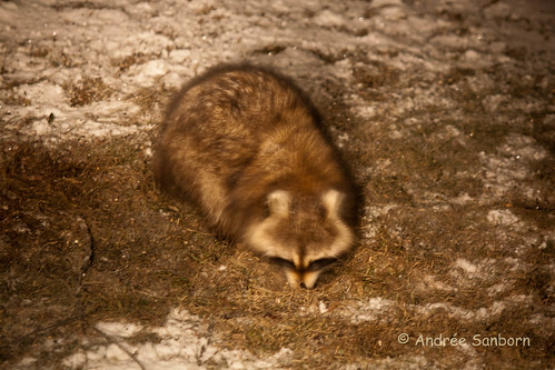 North American Raccoon (6 of 6).jpg