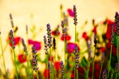 more flowers (camomile126) Tags: flowers garden summer nature colours light plants pflanze blumen lavender landscape deepfocus