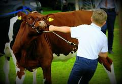 El Torro (gazkat41) Tags: ipstones cow calf bull nature farm motion bullock