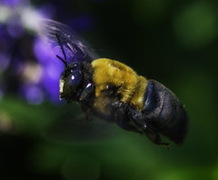 Bee_SAF7329-2 (sara97) Tags: missouri bee copyright2016saraannefinke flyinginsect insect nature outdoors photobysaraannefinke pollinator saintlouis towergerovepark
