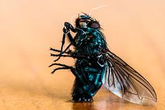 mal auf den Popo setzen (xelleron) Tags: nikond7100 sigma 150mm makro macro fliege fly popo sitzen