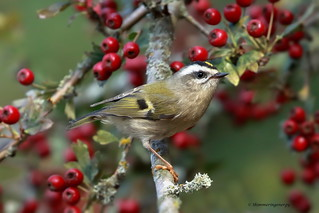Golden-crowned Kinglet | Roitelet à couronne dorée