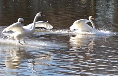 clyde 177 (n10rra) Tags: white love nature beauty swan close glasgow waterbird grace explore olympic mute