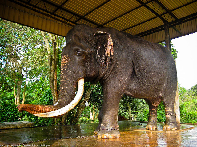 Слепой слон