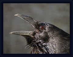 Raven (Loe Giesen) Tags: raven raaf toweroflondon whitetower rabe thewonderfulworldofbirds
