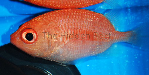 Cardinal Soldierfish Plectrypops retrospinis