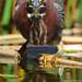 Carl the Green Heron