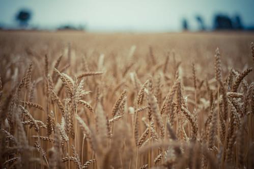 [フリー画像] 自然・風景, 田畑・農場, 花・植物, イネ科, 小麦・コムギ, 201102050100