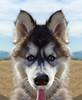 Husky ( Explored ) (-william) Tags: puppy husky highqualitydogs