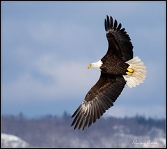 Until you spread your wings, you'll have no idea how far you can fly. (Nancy Rose) Tags: wild nature flying eagle baldeagle soaring gliding wingspan flyby seieldmills eaglewatchsunday canon70200isf4handheldandcropped