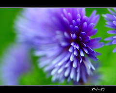 Natural Explosions (sirVictor59) Tags: italy flower macro nature nikon focus italia nikond70 natura fiore colori viterbo lazio 105mm tuscia digitalcameraclub platinumheartaward wonderfulworldofflowers sirvictor59 100commentgroup bealivebetopbeseven fleursetpaysages mygearandme