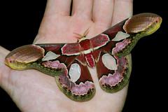 Moth (ggallice) Tags: ecuador amazon rainforest moth lodge lepidoptera napo sacha silkworm saturniidae