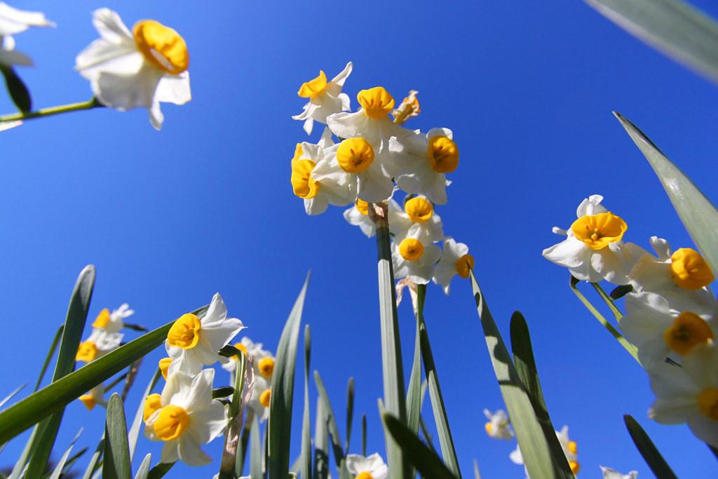 Kasai Rinkai Park Narcissus Festival (7)