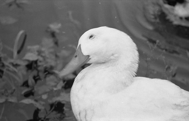 アヒルの白黒写真のフリー写真素材