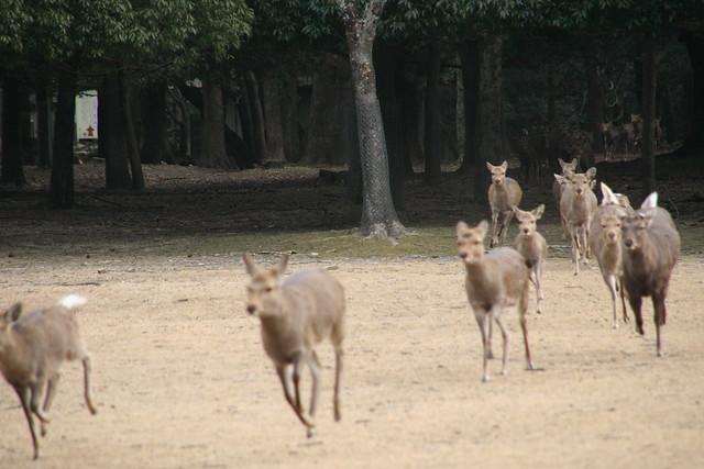 奈良の鹿寄せ 2011 - 04