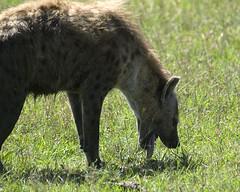 Hyena 012 (joannehedger) Tags: africa kenya hyena masaimara crocutacrocuta spottedhyena kicheche joannehedger httpjoannehedgerblogspotcouk