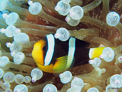 Yellowtail clownfish - Maldives