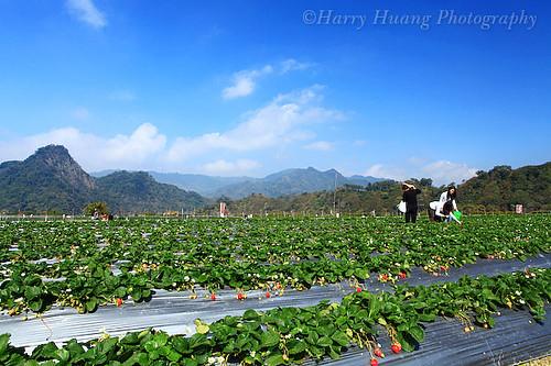 3_MG_7518-Strawberry Farm, Miaoli County, Taiwan 草莓園-草莓-採草莓-草莓田-農業-農作-農田-農產品-水果-果實-豐收-收成-收穫-精緻農業-苗栗縣-大湖鄉