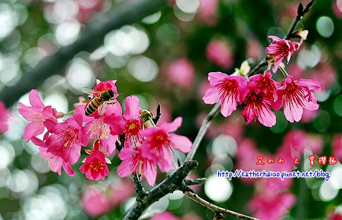 1 ㄤ咕麵第一公園櫻花