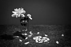 He Loves Me. (devel_) Tags: flowers blackandwhite love glass daisies petals shot valentine romance daisy helovesme helovesmenot canont2i