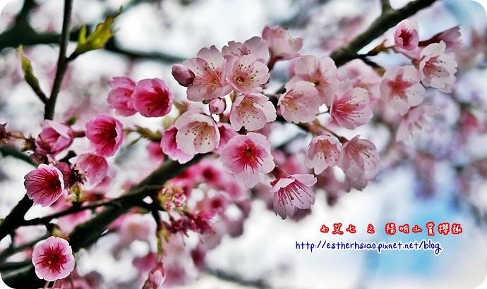 74 平菁街42巷櫻花樹