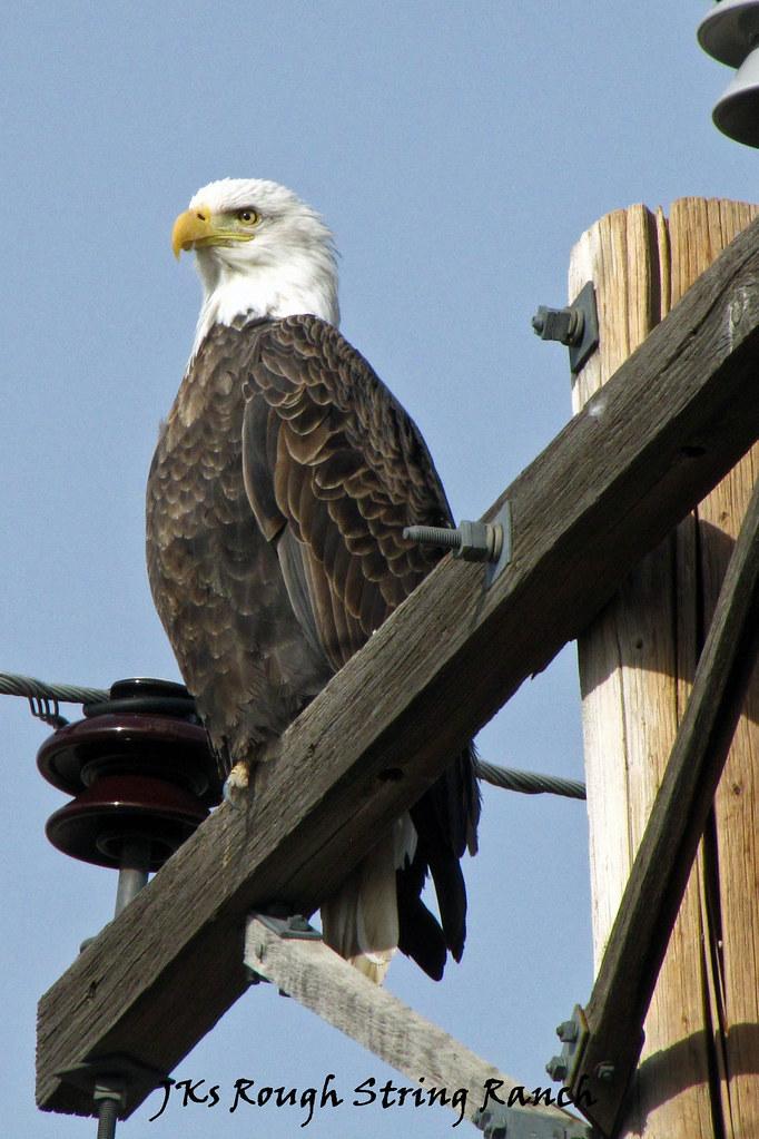 Bald Eagle 1/2