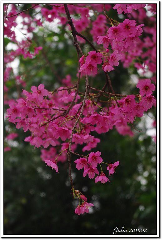 自強櫻花 (8)