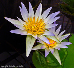 Lotus water lily (philipleemiller) Tags: flowers nature waterlily lotus macros closeups purpleandyellow nymphaea sanfranciscoconservatoryofflowers ninfeceas daubenyana