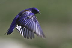 Western Bluebird in Flight (Bob Gunderson) Tags: california nature birds northerncalifornia soe bluebirds centralvalley westernbluebird sialiamexicana capayvalley