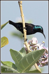 1030 sunbird 3 (chandrasekaran a 546k + views .Thanks to visits) Tags: india nature birds chennai sunbird purplerumped canon60d