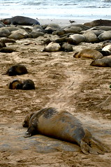 9178 (Panegyrics of Granovetter) Tags: aonuevo elephantseals whelps slaughteredfortheiroilrichblubber