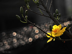 bokeh and backlighting #9 (e.nhan) Tags: light flower art yellow closeup spring dof bokeh vietnam backlighting enhan