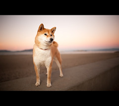 Regal! (kaoni701) Tags: sf sanfrancisco sunset portrait dog beach night puppy nikon bokeh suki shibainu shiba presidio shibaken 24mmf14 d700