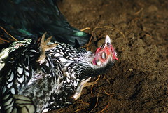 Happiness is a dust bath in the sun (MostlyChickens) Tags: chicken silver back bath dust sebright bantam laced dustbath