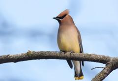 Cedar Waxwing: Eating some berries (mbaglole) Tags: winter bird nikon flash birding sb600 300mm cedar nikkor dickson f4 waxwing cedarwaxwing teleconverter afs 14x d90 nikonsb600 fwr tc14 nikon300mm 14xteleconverter nikon300mmf4 nikond90 nikonteleconverter nikontc14 fwrdickson