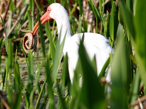 White Ibis with snake 20110220