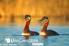 Red-necked Grebe (Podiceps grisegena) (Stan Tekiela's Nature Smart Wildlife Images) Tags: usa water minnesota geese swan adult pair unitedstatesofamerica bluewater ducks waterbird diving waterfowl calling mates mn aythya stockimages grebes anatidae vocalizing redneckedgrebe dabbling podicepsgrisegena stantekiela twoindividuals naturesmartwildlifewordsandimages